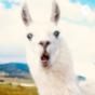 Das Leben ist ein Lama