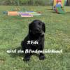 Fibi wird ein Blindenführhund