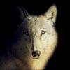 #30 - momo erzählt - Der schwarze und der weiße Wolf