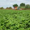 Audio: Pflanzenschutz in Kartoffeln