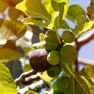 Ohrfeigen und andere Gartenfrüchte