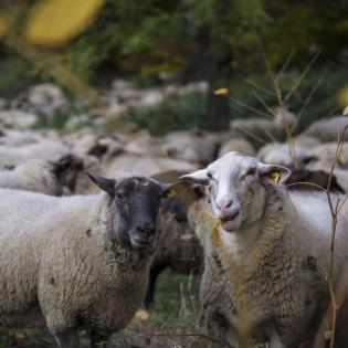 Das widerständige Schaf - Zwischen Wolf und Agrarpolitik