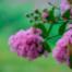SWR4 Gartentipp - Kreppmyrte